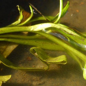 Newt egg wrapped in Myosotis scorpioides leaf showing newts in your pond