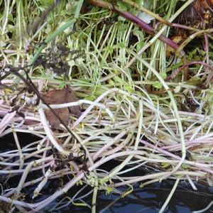 Oenanthe javanica Flamingo root mass