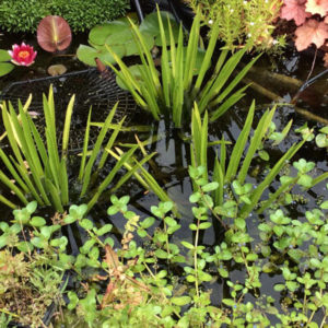 Extend your planting for wildlife friendly wet habitats
