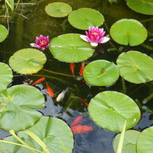 What is an aquatic plant?