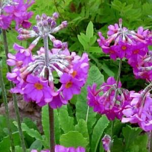 purple candelabra flowers on Primula beesiana