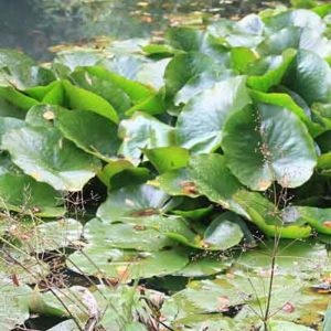 Waterlily need dividing?