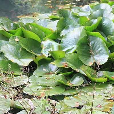 Waterlily leaf standing above water