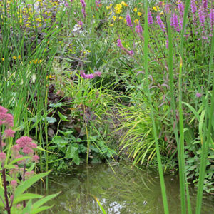 add a planted bog garden around your pond to provide cover for wildlife