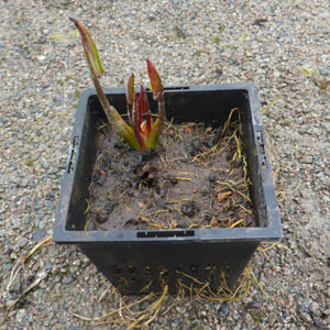 Is it too early to plant my pond?