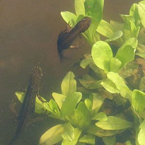 Female newts choosing the leaf they want for laying their eggs