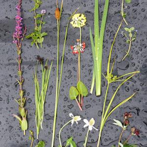 Pond edge plants article in RHS The Garden magazine