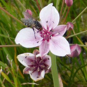 insect pollinators on Butomus umbellatus