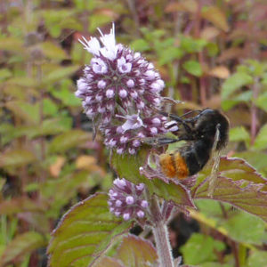 Bee on Mentha aquatica - Water Mint