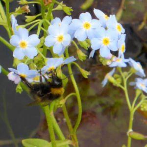 Bee enjoying Myosotis scorpioides Forget me not