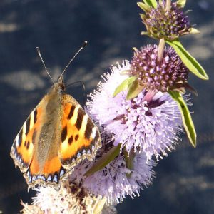butterfly pollinator on Mentha cervina