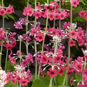 red and pink 3 tiered whorls of Primula japonica