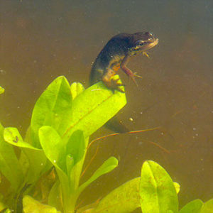 Newts return to mate