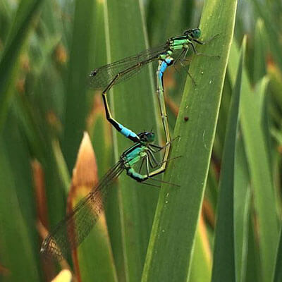 damselflies in copulatory wheel
