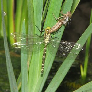 Dragonfly emerging from casing