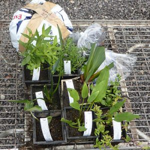A selection of plants prepared by us for a Size 2 pond Planting Scheme for a wildlife pond