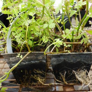 Planting your pond now with ready rooted 9cm plants