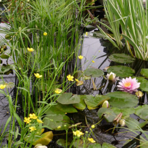Add more pond plants to extend your flowering times
