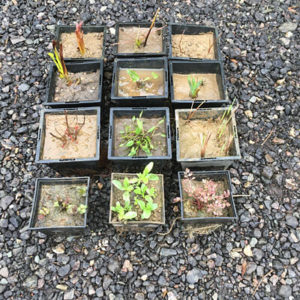 Pond plants as sent in Spring