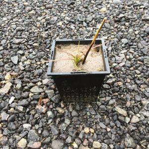 Alisma plantago aquatica in Spring