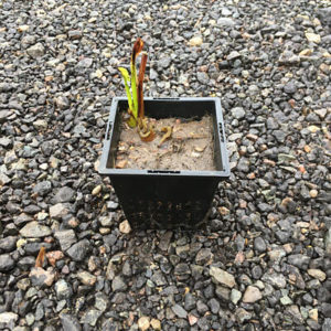 Pontederia cordata in Spring