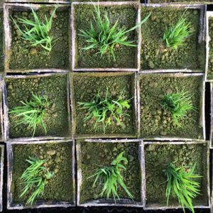 Juncus ensifolius seedlings moved into 7cm pots
