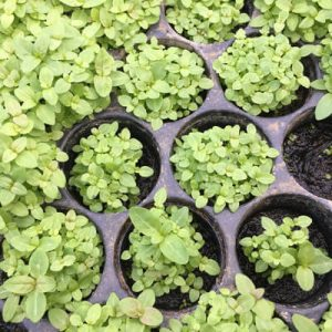Seed grown plants are already growing on